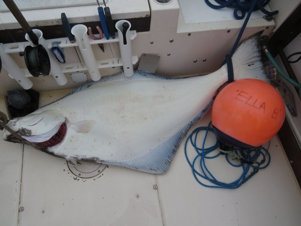 133 cm halibut (70lbs +/-), maximum retention length